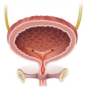An image of the bladder.