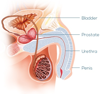 Image showing the anatomy of the male lower urinary tract.