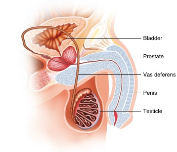 A cross section of the male urinary tract showing the bladder, prostate, testicles, vas deferens, and penis.