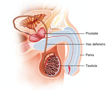 A cross section of the male urinary tract showing the testicles, vas deferens, prostate and penis.
